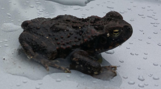 First cane toad