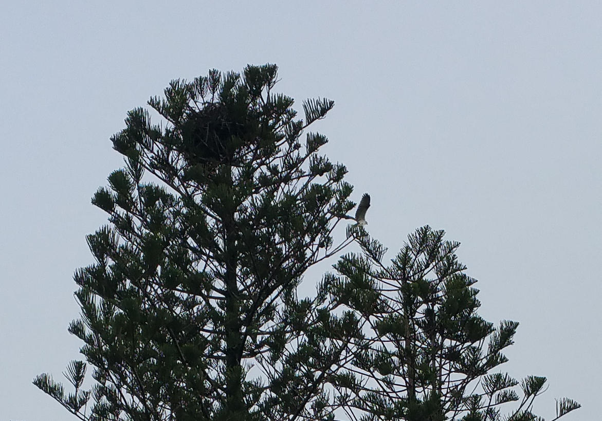 Sea Eagle leaves its Nest of the top of a Norfolk Island Pine