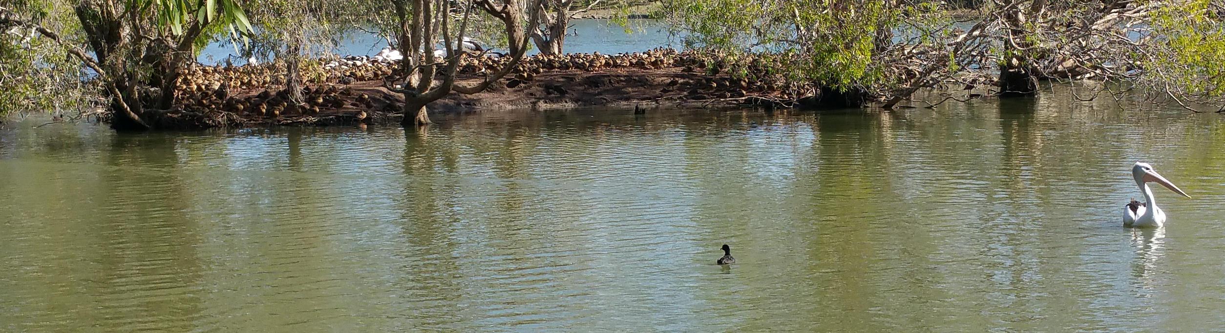 A rockery of ducks at Bundaberg